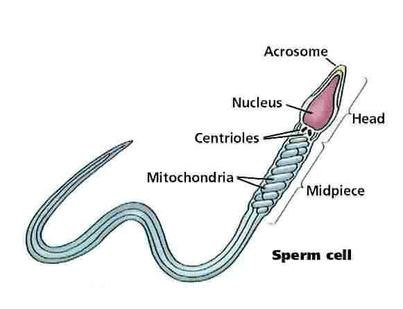 Agree, remarkable parts of the sperm cell