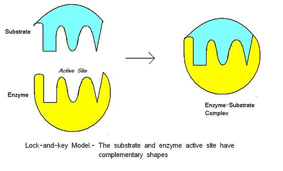 Enzymes A Level Notes